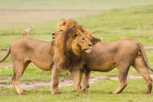 african-king-lion-serengeti-park